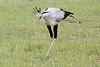 Secretary_Bird_Asilia_Kenya0002