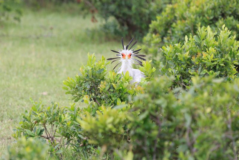 Secretary_Bird_Asilia_Kenya0006