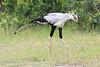 Secretary_Bird_Asilia_Kenya0014