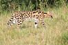Serval_Asilia_Kenya0004
