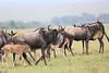 WildeBeest_Mara_North_Asilia_Kenya0018