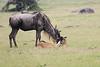 WildeBeest_Mara_North_Asilia_Kenya0008
