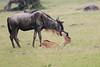 WildeBeest_Mara_North_Asilia_Kenya0007