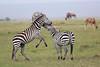 Zebra_Mara_Reserve_Asilia_Kenya0022