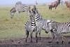 Zebra_Mara_Reserve_Asilia_Kenya0020