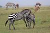 Zebra_Mara_Reserve_Asilia_Kenya0017