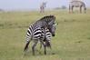 Zebra_Mara_Reserve_Asilia_Kenya0008