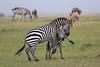 Zebra_Mara_Reserve_Asilia_Kenya0014
