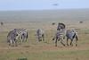 Zebra_Mara_Reserve_Asilia_Kenya0004