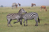 Zebra_Mara_Reserve_Asilia_Kenya0024