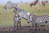 Zebra_Mara_Reserve_Asilia_Kenya0021