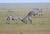Zebra_Mara_Reserve_Asilia_Kenya0002