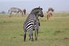 Zebra_Mara_Reserve_Asilia_Kenya0011