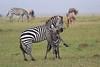 Zebra_Mara_Reserve_Asilia_Kenya0015