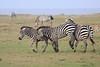 Zebra_Mara_Reserve_Asilia_Kenya0005