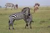 Zebra_Mara_Reserve_Asilia_Kenya0016