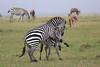Zebra_Mara_Reserve_Asilia_Kenya0013