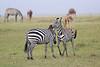 Zebra_Mara_Reserve_Asilia_Kenya0010