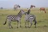 Zebra_Mara_Reserve_Asilia_Kenya0023