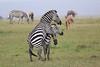 Zebra_Mara_Reserve_Asilia_Kenya0012