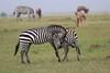 Zebra_Mara_Reserve_Asilia_Kenya0018
