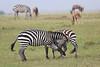 Zebra_Mara_Reserve_Asilia_Kenya0019