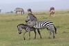 Zebra_Mara_Reserve_Asilia_Kenya0007
