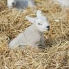 123_Lambing Sunday