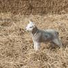 134_Lambing Sunday