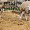 119_Lambing Sunday