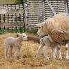 120_Lambing Sunday