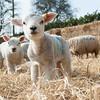 150_Lambing Sunday