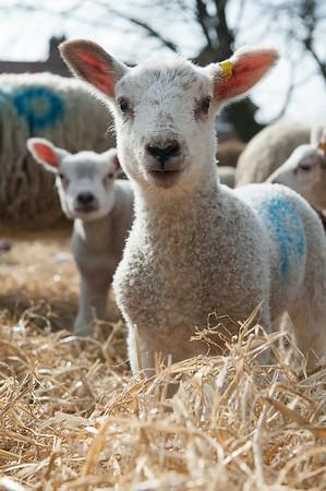 153_Lambing Sunday