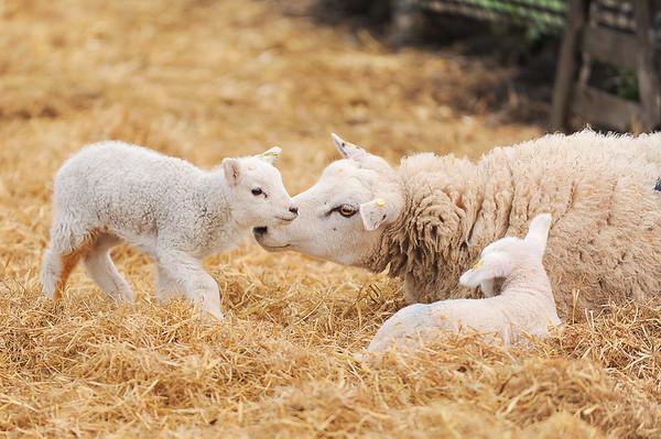 122_Lambing Sunday