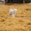 121_Lambing Sunday