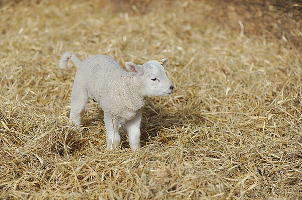 128_Lambing Sunday