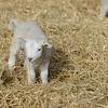 127_Lambing Sunday