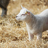 125_Lambing Sunday