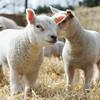 149_Lambing Sunday