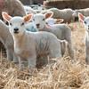 135_Lambing Sunday