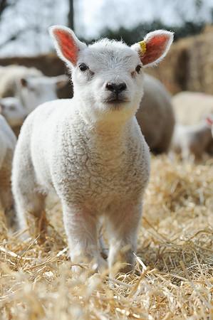 143_Lambing Sunday