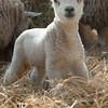 155_Lambing Sunday