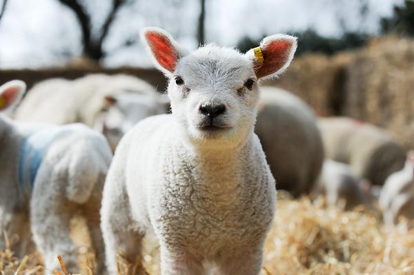 142_Lambing Sunday