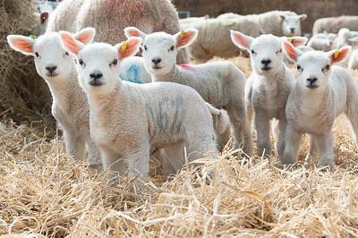 Lambing Sunday 2015