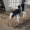 162_Lambing Sunday