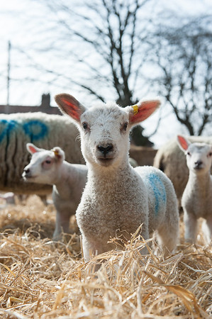 154_Lambing Sunday