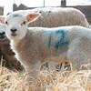 152_Lambing Sunday