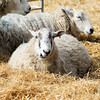 072_Lambing Sunday