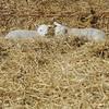 159_Lambing Sunday