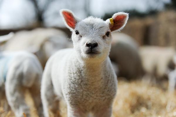 139_Lambing Sunday